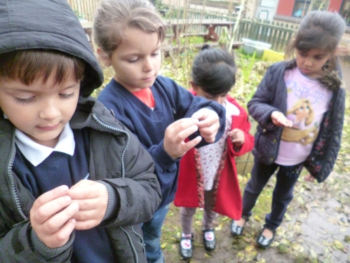 Inspecting our Sweet Pea seeds