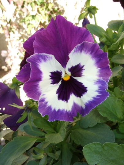 Winter_pansy_3