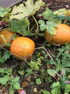 Pumkins in our garden - one of the 3 sisters...